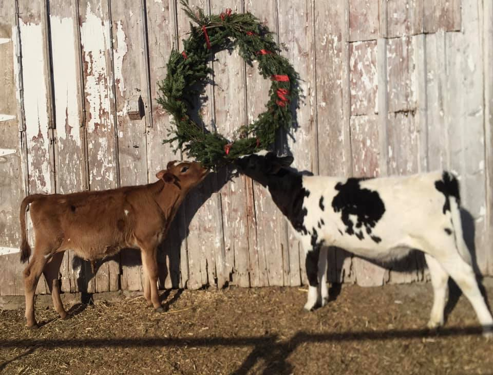 Christmas wreath with cows underneath
